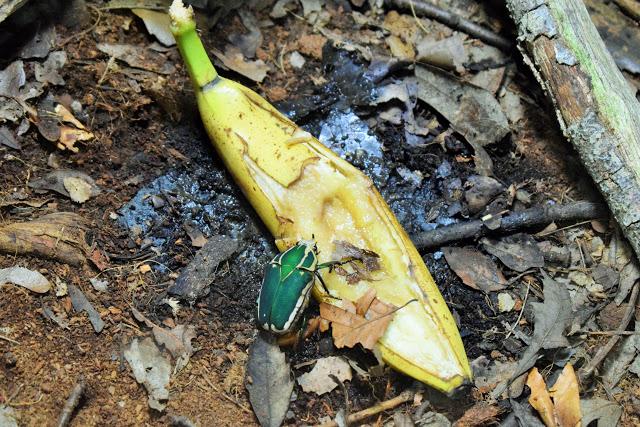 A bright green bug munchin in a banana.
