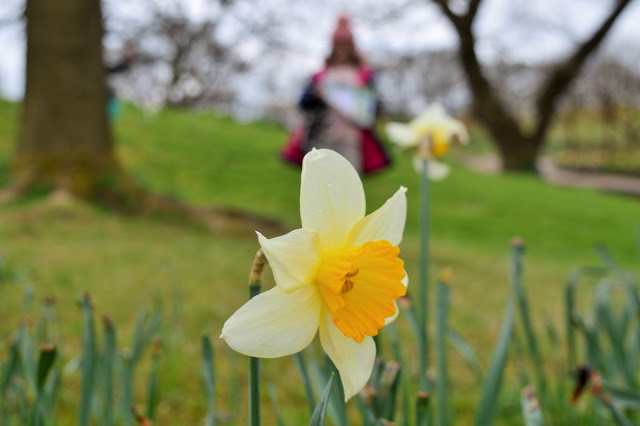 A yellow daffodil at RHS Harlow Carr