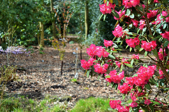 pretty pink flowers in the woods at RHS.